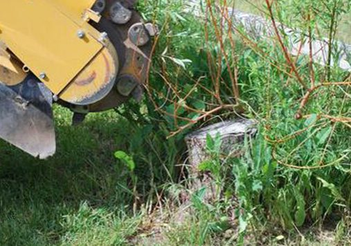 This is a picture of a grapevine and stump removal.